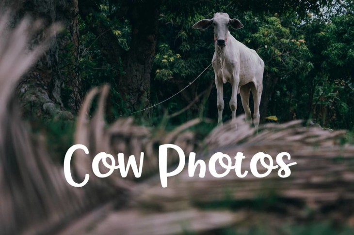 Free Cow Photos