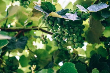Close-up-Shot-of-Green-Grapes-Growing