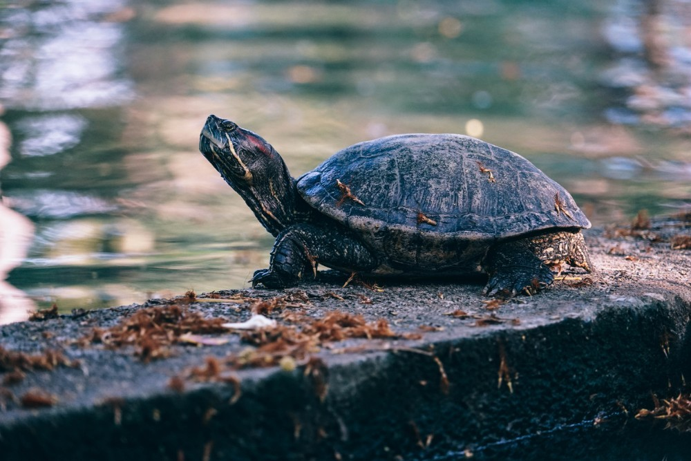 Close-up-Shot-of-a-Turtle-next-to-the-Lake-in-Lumphini-Park