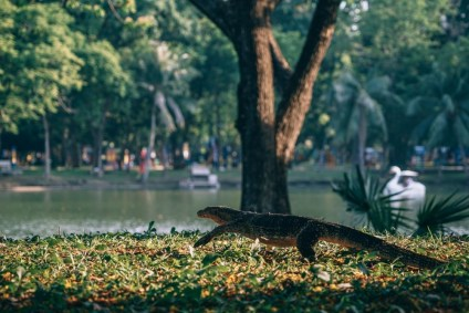 Giant-Lizard-Walking-Through-Lumphini-Park-Bangkok
