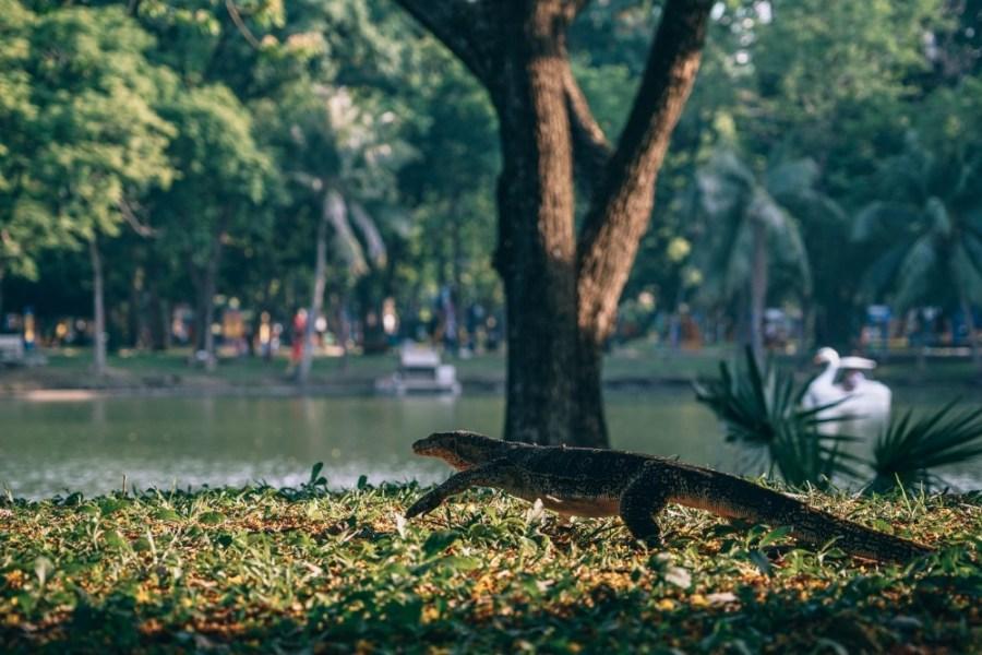 Giant-Lizard-Walking-Through-Lumphini-Park-Bangkok