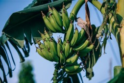 Green-Bananas-Growing