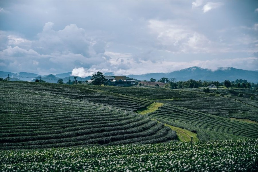 Landscape-of-the-Choui-Fong-Tea-Planatation