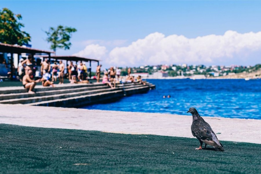 Pigeon-Sitting-by-the-Shore-in-Sevastopol
