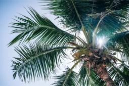 Sun-Shining-Through-a-Palm-Tree-during-Noon