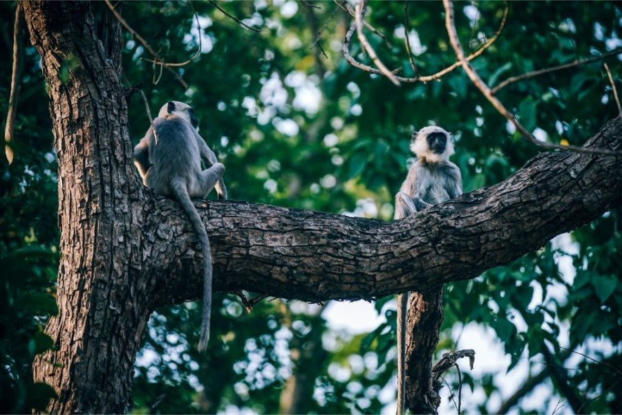 Two-Monkeys-Chilling-on-a-Big-Tree-Branch