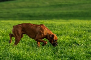 boxer dog on the green meadow GVPC