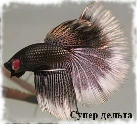 разновидность рыбки петушка