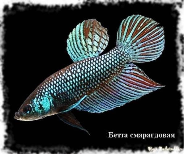 бетта виды рыбка