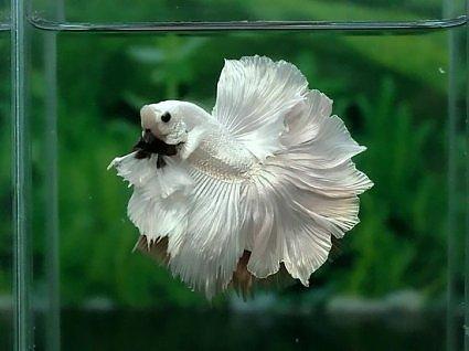 Аквариумная рыбка Петушок: фото, содержание, кормление. 1430305565 4 AquaDeco Shop