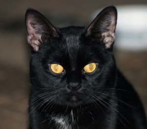 Adopt a Black Cat on Friday the 13th