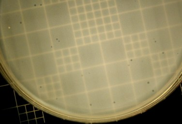 plaques have developed overnight as the phage lyse small areas of bacteria