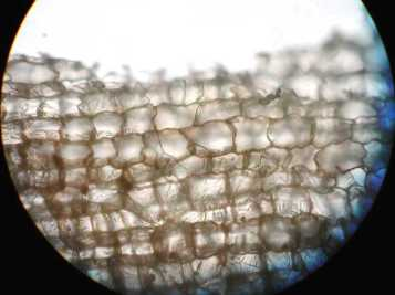 Cells in cork, a la Hooke 100x