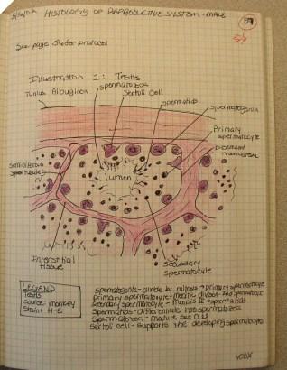sample page, seminiferous tubule