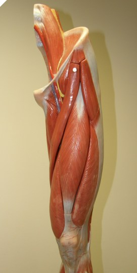 01_Thigh_front_PC010039