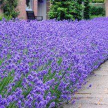 foto van lavendel