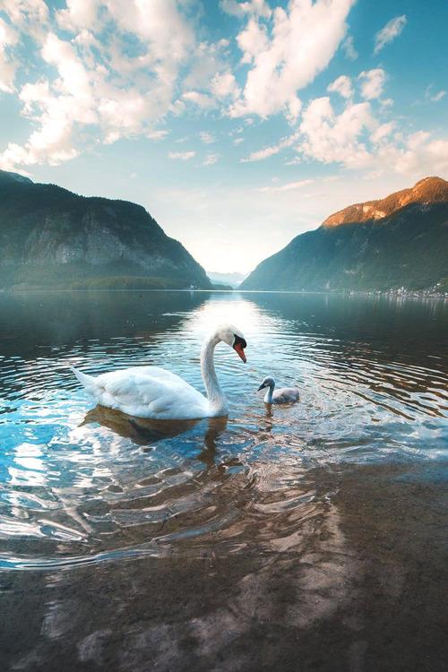 Animals Landscape Nature Travel Austria Lake Swan up