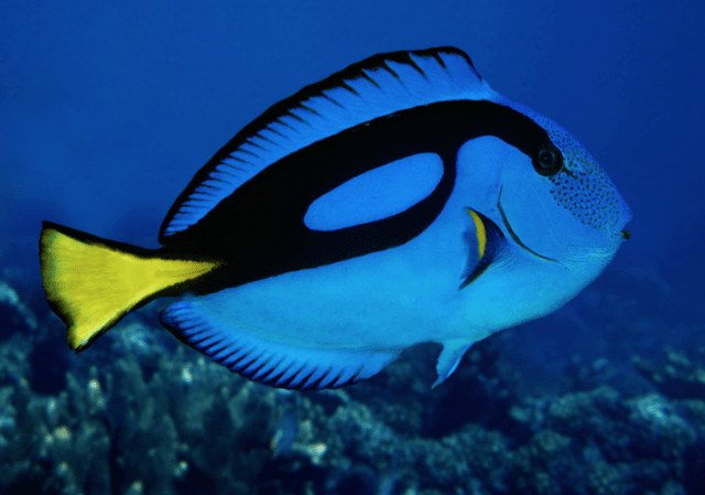 Regal Tang - beautiful and colorful fish