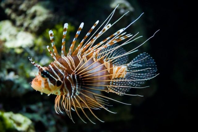 Lion Fish - beautiful and colorful fish