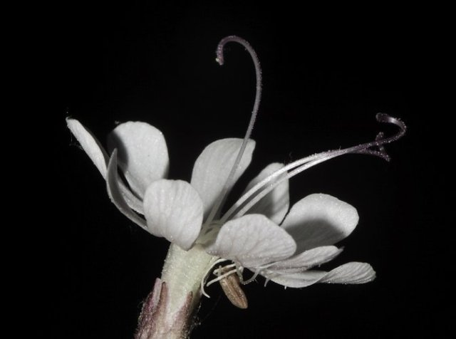 Nottingham Catchfly - Flowers Which Bloom Only At Night