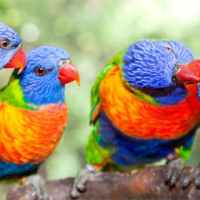 An Australian bird, called the rainbow lorikeet, routinely gets drunk from spring to summer. The small birds drink the fermented crimson flower nectar from the Weeping Boer-bean tree. When intoxicated these birds make loud drunken noises which many people find bothersome.