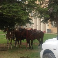 There is a Montana Law that if a student rides a horse to school, the principal has to feed, water, and tend the horse. Six seniors who were aware of this law rode their horses on the last day of school. Their principal did his duty and took care of their horses.