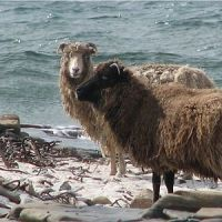 There is a species of sheep that survives completely on seaweed. on the island of north ronaldsay in scotland, a wall was built around the island to protect crops from sheep grazing, limiting them to the shoreline where they have adapted to survive.