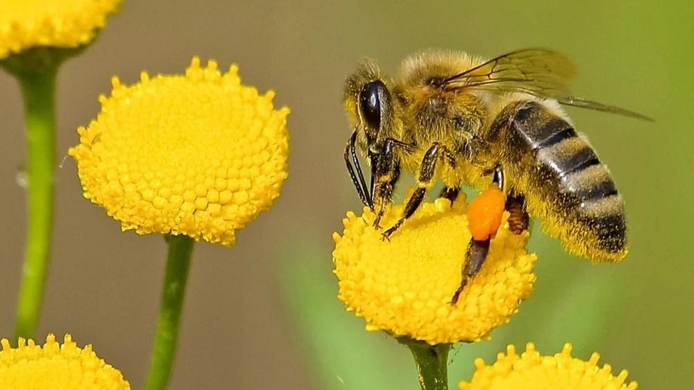 En Australia, cuando hace mucho calor, el néctar de algunas flores fermenta  y se convierte en alcohol. Las abejas que se emborrachan con el néctar no  pueden regresar a su colmena; las