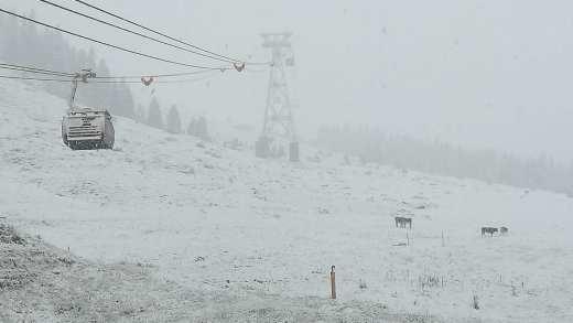 Stubaier Gletsjer Koeien in de sneeuw