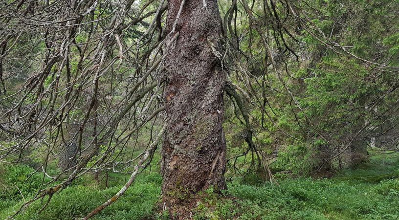 Oslomarkas eldste grantre - Oslomarka - Krokskogen - Fantastiske marka