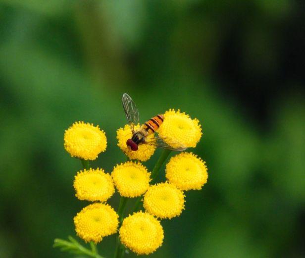 Insekter - Blomsterflue - Hageblomsterflue - Oslomarka - Fantastiske marka