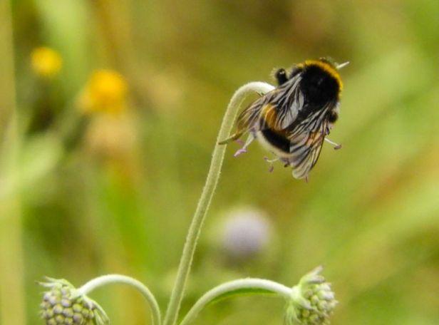 Insekter - Humler - Jordhumle - stor jordhumle - Oslomarka - Fantastiske marka