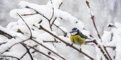 Blåmeis stående på en gren med snø - Fuglebrettet - Fuglematern - Fugler - Vinterfugler - Fantastiske marka