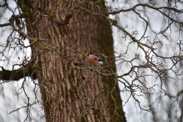 Dompap ved fuglebrettet - Fugleforing - Fugler - Vinterfugler - Fantastiske marka