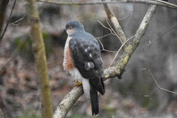 Spurvehauk-ved-fuglebrettet-Fugleforing-Fugler-Vinterfugler-Fantastiske-marka