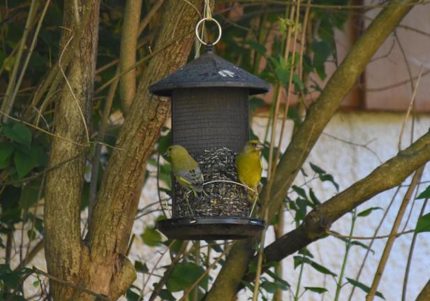 To grønnfinker sammen på fuglemateren - Fuglebrettet - Fugleforing - Fugler - Vinterfugler - Fantastiske marka