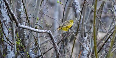 Gulspurv i skogen en vårkveld - Fugler - Fuglesang - Oslomarka - Fantastiske marka