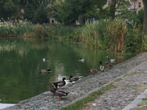 Fantasy Aisle, Mallard ducks taking a dip in the Harlem Meer