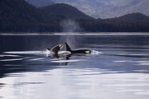 killer whale in water
