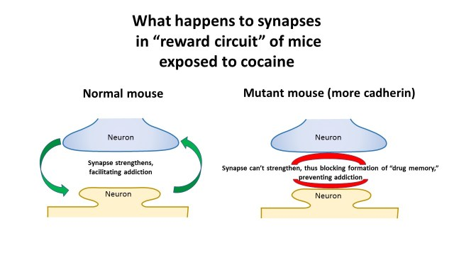 Synapses in normal mice vs genetically enhanced mice