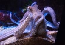An octopus under water