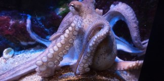 An octopus under water