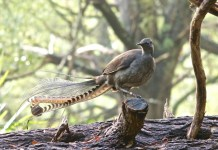 lyrebird sitting on branch