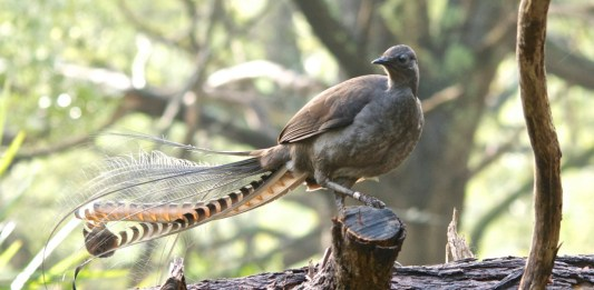 lyrebird sitting on branch
