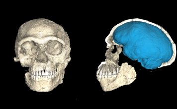 Two reconstructions of the second hominin face