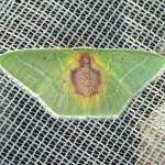Nemoria astraea (Lepidoptera, Geometridae, Geometrinae, Nemoriini). Fotografía: Sebastián Berrío