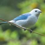 Thraupis episcopus / Azulejo común / Blue-gray Tanager / Thraupis episcopus (Passeriformes, Thraupidae). Fotografía: Sebastián Berrío