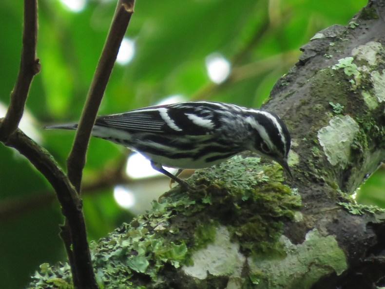 Reinita cebra (Mniotilta varia) / Black-and-white Warbler. Fotografía: Sebastián Berrío