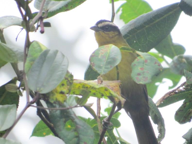 Hemispingo cabecinegro (Kleinothraupis atropileus) / Black-capped Hemispingus. Fotografía: Jorge Cano