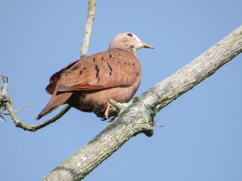 Tortolita común (Columbina talpacoti) / Ruddy Ground-Dove. Fotografía: Jorge Cano